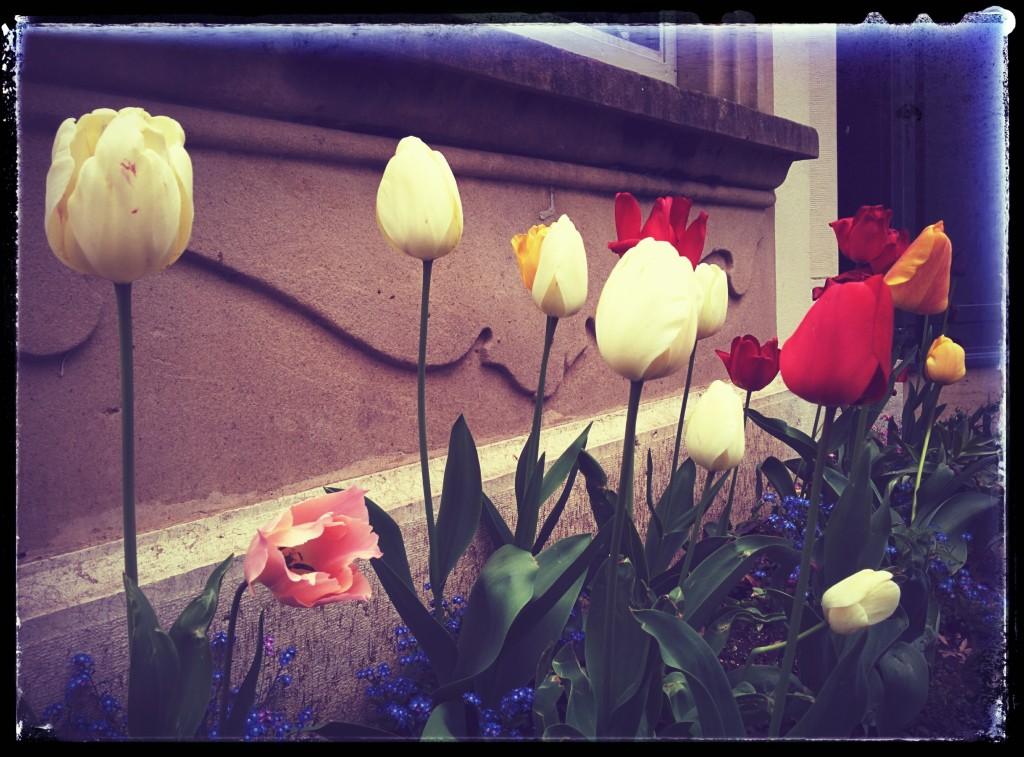Tulpen - Genthod 2015 - Domingo Senise